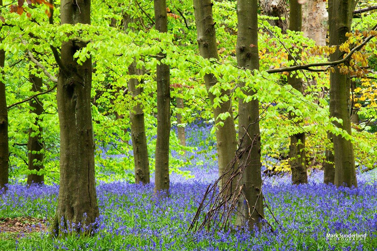 Bluebell Photography in Middleton Woods