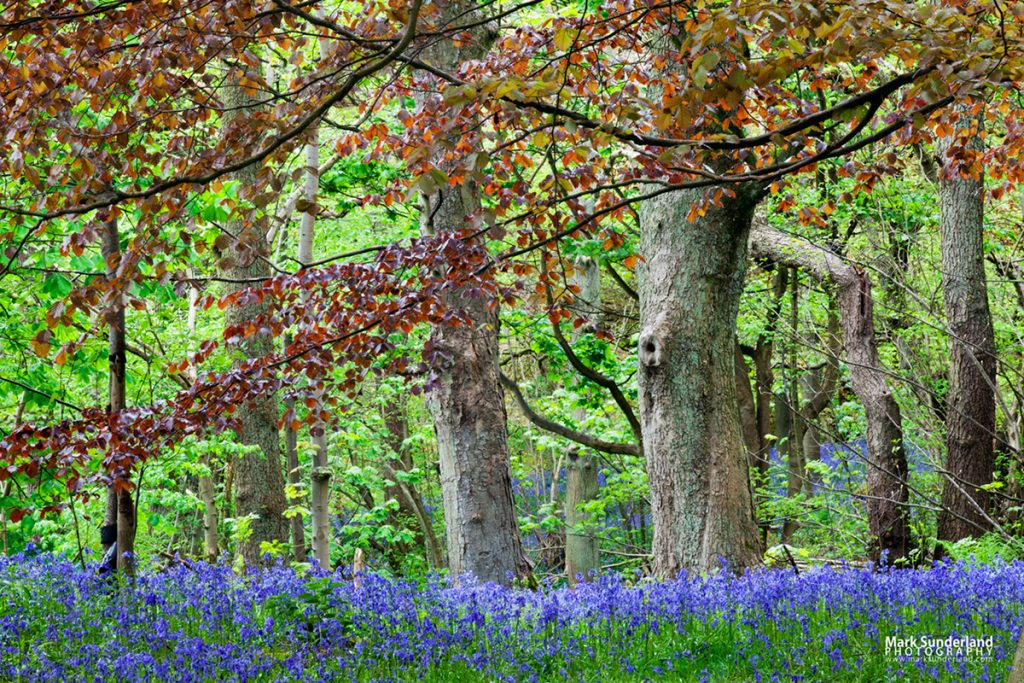 Bluebells and Spring Foliage in Middleton Woods