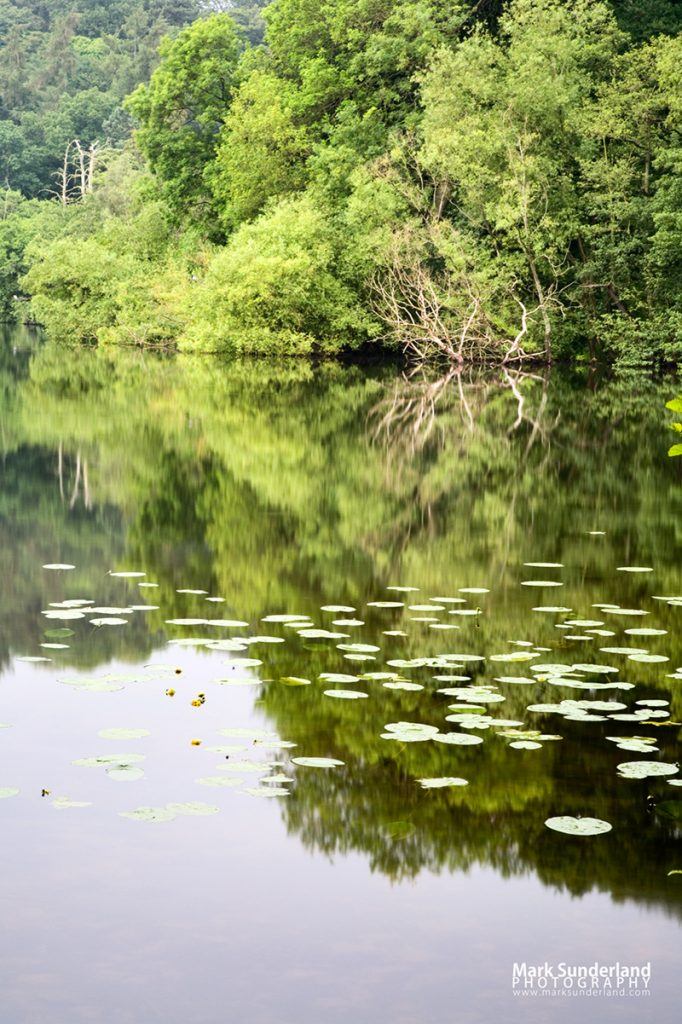 Water Lilies and Reflections in Colemere
